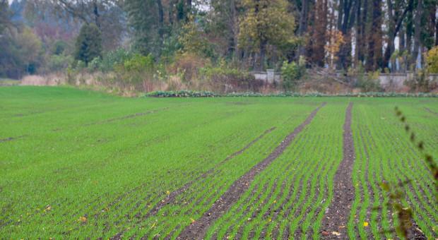 Odchwaszczanie zbóż ozimych od trzeciego liścia