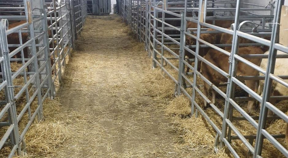 Aukcja bydła mięsnego z kolejnym sukcesem
