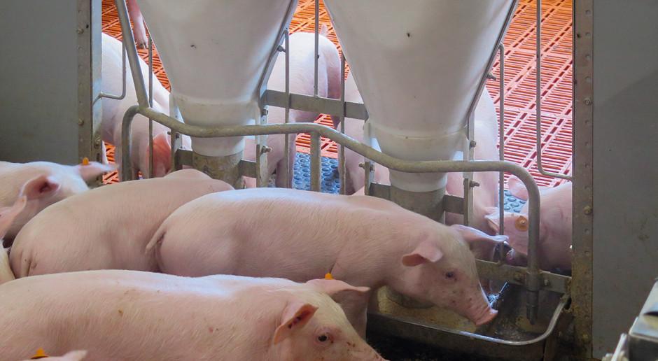 Nowe podejście do żywienia świń
