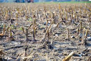 Zagospodarowanie słomy kukurydzy