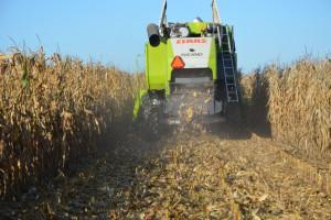 Trwają zbiory kukurydzy – jakie są ceny?