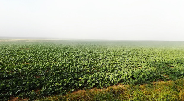 Rzepak może potrzebować azotu – pamiętajmy jednak o programie azotanowym