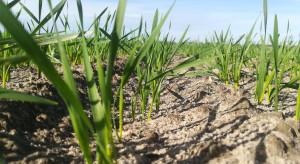 Większy potencjał plonowania ma pszenica rozkrzewiona jesienią