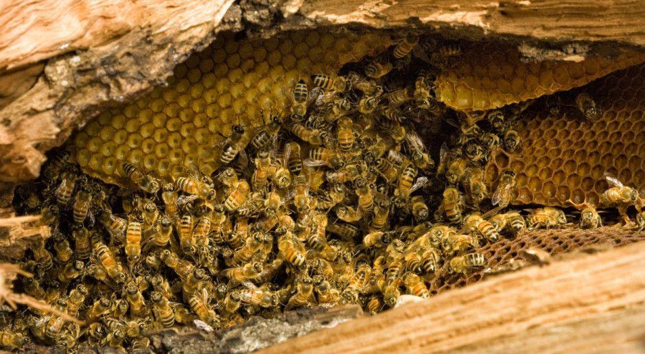 Pszczoły i trzmiele wykorzystywane do roznoszenia środków ochrony roślin