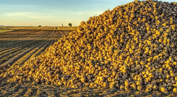 Na Białorusi zebrano ponad 7 mln ton zbóż i ponad 2,8 mln ton buraków