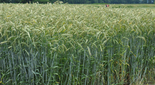 Żyto podrożało – może wzrosnąć podatek rolny
