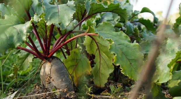 Złodzieje warzyw wpadli na gorącym uczynku