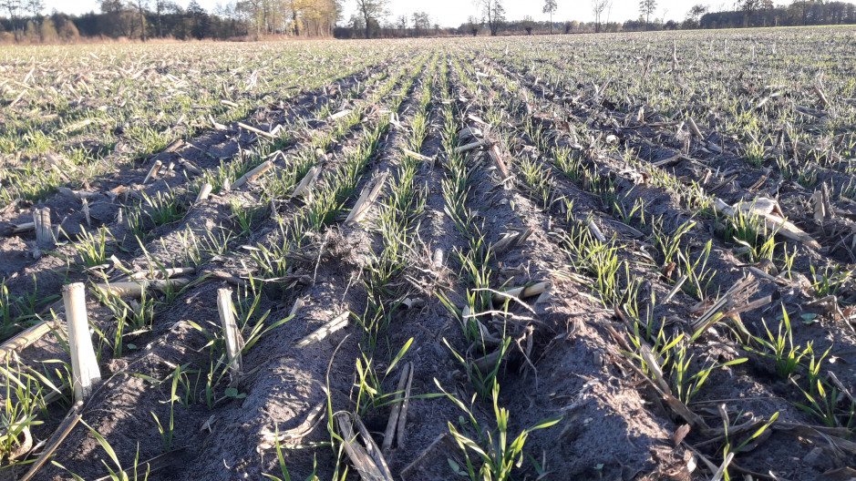 Tak wyglądają wschody pszenżyta po siewie w ściernisko po kukurydzy na ziarno ...