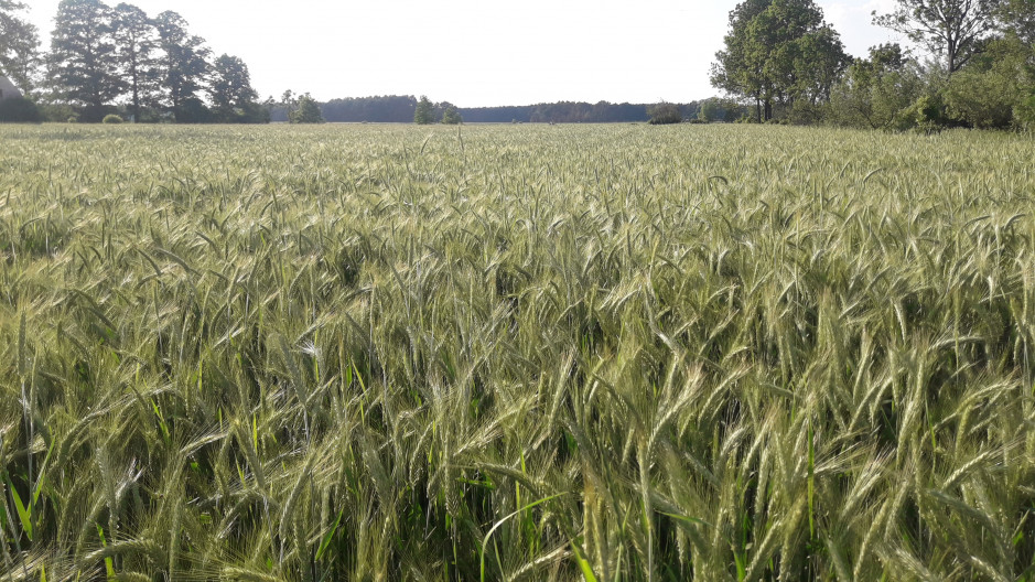 ... oraz jego łan w późniejszym okresie wegetacji na polach Grzegorza Wernera.
