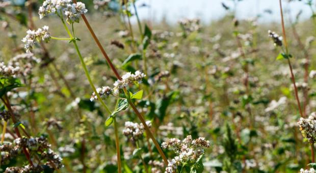Ukraina: Zbiory zbóż i bobowatych przekroczyły 58 mln ton