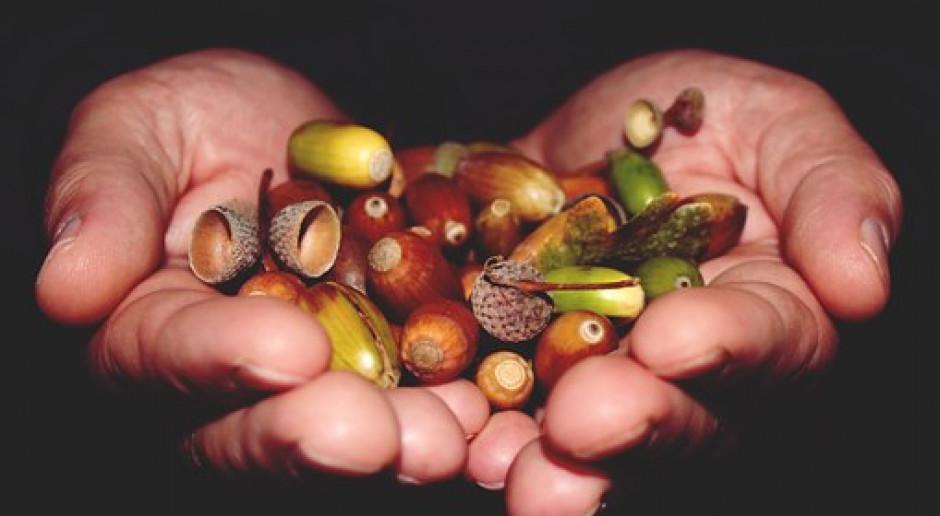 Leśnicy z Warmii kończą zbiór nasion buków i dębów