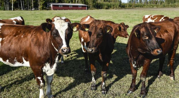 Ekologiczna produkcja mleka w fińskim gospodarstwie