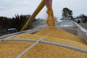 KRIR apeluje o kontrolę napływu kukurydzy z Ukrainy