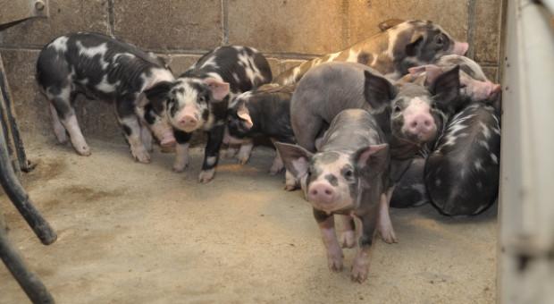 """Chów świń """"bez GMO"""" na bazie własnego białka - na konferencji """"Farmera"""""""