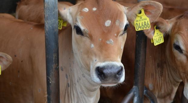Nadmierna wilgotność sprzyja rozwojowi grzybic u bydła