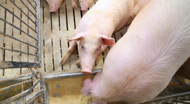 ARiMR: od poniedziałku nabór wniosków na inwestycje w hodowlę świń