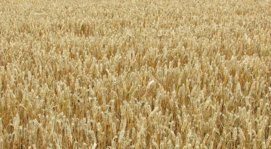 Rosja: Zebrano 121 mln ton zbóż i bobowatych