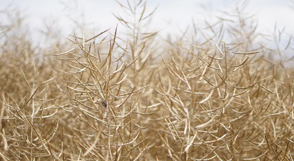 Europejska uprawa rzepaku przeżywa kryzys