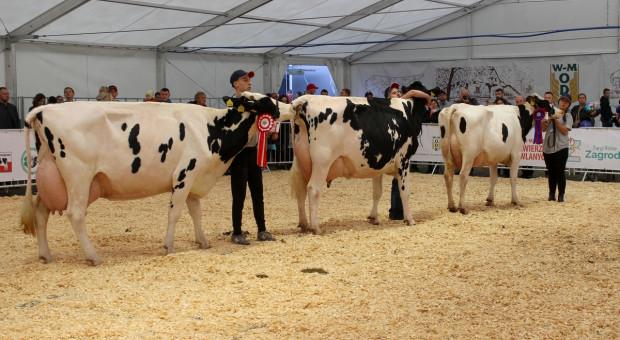 Czempiony bydła mlecznego na wystawie w Ostródzie