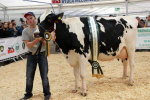 Czempion w kategorii krowy PHF w II laktacji oraz Superczempion wśród krów