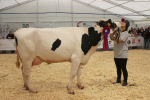 Czempion w kategorii krowy PHF w I laktacji