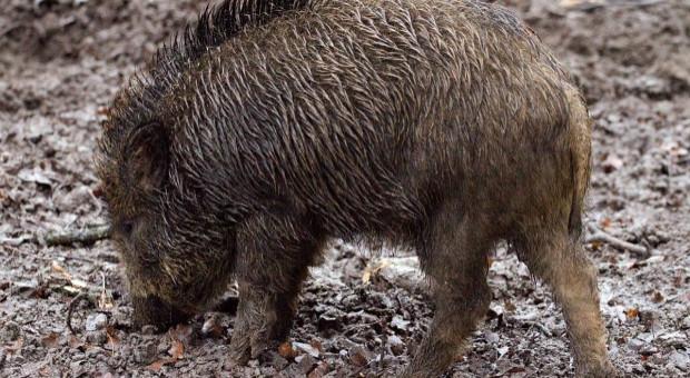Martwe dziki na duńskim wybrzeżu. Bez badań pod kątem ASF