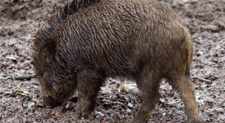 Martwe dziki znalezione na duńskim wybrzeżu. Nie wykonano badań na obecność ASF