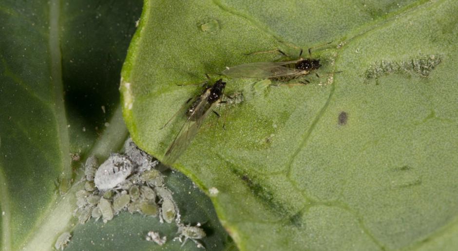 Insektycydy na mszyce w rzepaku