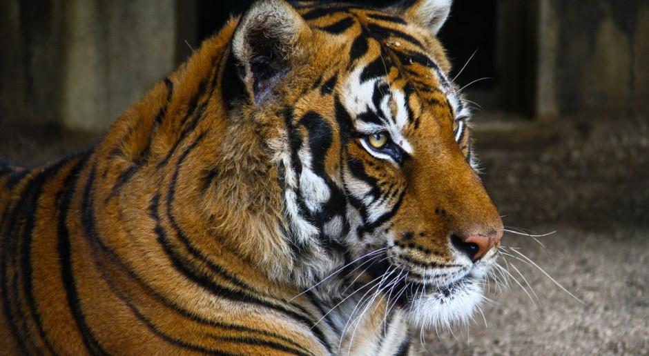 Transport z tygrysami utknął na granicy, bo Włosi zapomnieli dokumentów