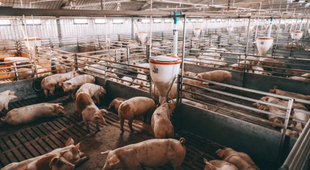 UE: Ceny świń rzeźnych – nadal stabilizacja