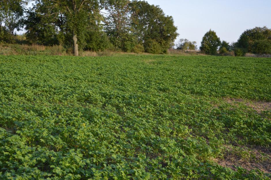 Rolnik wysiewa poplony na polach przeznaczonych pod uprawę kukurydzy. Stara się to jednak robić w takim terminie aby rośliny nie zakwitły przed zimą, gdyż w tym momencie przestają budować masę, a cała ich energia idzie na wytworzenie nasion.