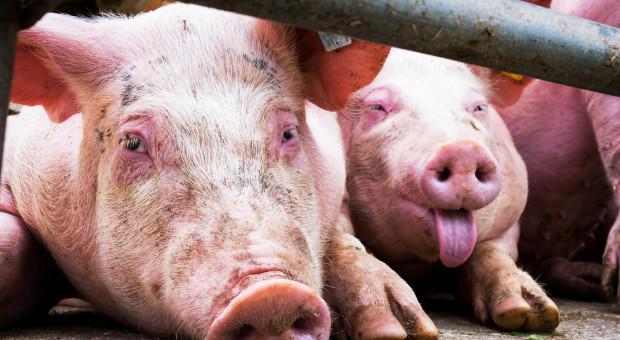 W ciągu 11 lat o połowę mniej świń na Lubelszczyźnie