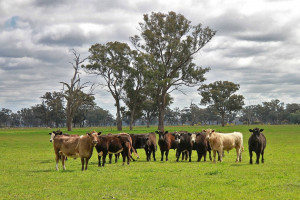 Australia: Coraz mniej bydła z powodu suszy
