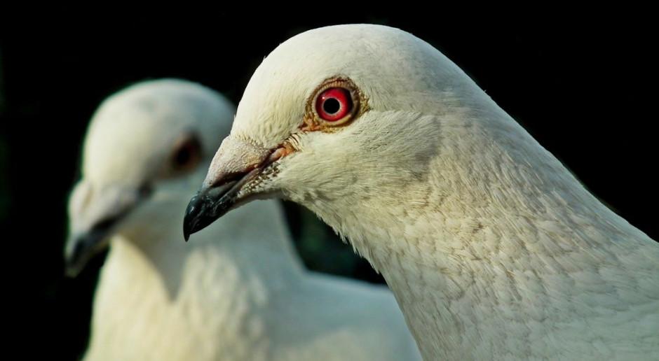 Wyrok 9 lat więzienia dla złodzieja rasowych gołębi