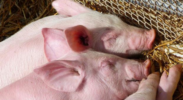 Świnie wykorzystywane do testów zderzeniowych samochodów w Chinach