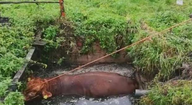 Strażacy ratowali byka, który wpadł do szamba