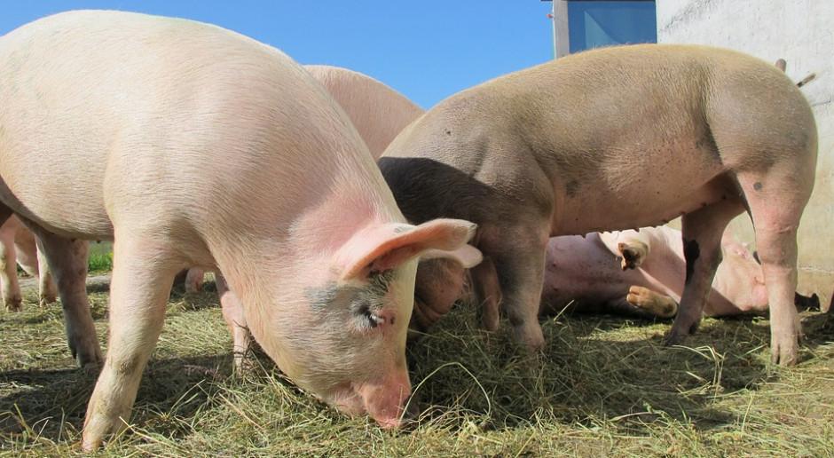 UE: Cena świń rzeźnych wzrosła tylko w Danii