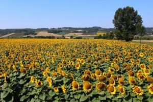 Ukraina: Rekordowa produkcja oleju słonecznikowego