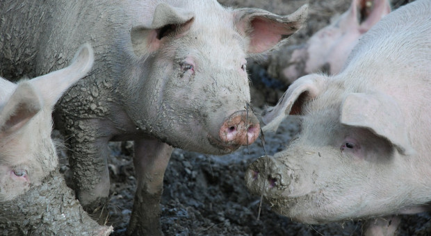 Stabilizacja unijnych cen świń rzeźnych, ale nie w Danii