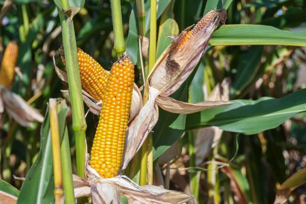 Kukurydza tak, monokultura nie
