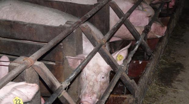 Duńczycy utrzymują coraz mniej świń