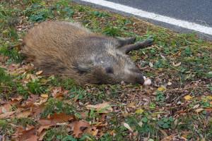 ASF na zachodzie Polski - zagrożone zagłębie produkcji świń