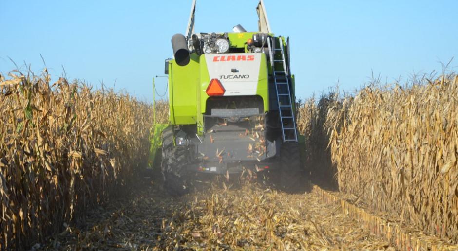 Kukurydza prawie zebrana – plon niski