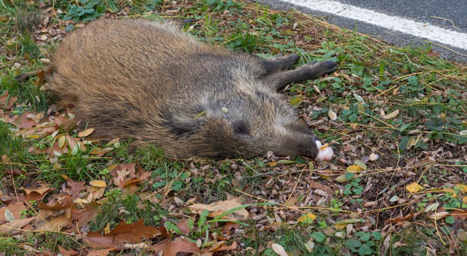 Znaleziono kolejne padłe dziki, w okolicy pierwszego przypadku ASF w woj. lubuskim