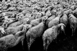 IERiGŻ-PIB: W UE tanieją owce i jagnięta