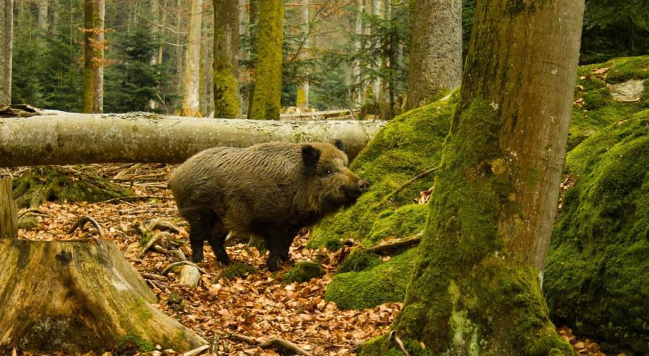 Afrykański pomór świń dotarł do Zielonej Góry