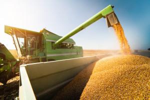 Tydzień rekordowych notowań zbóż na świecie