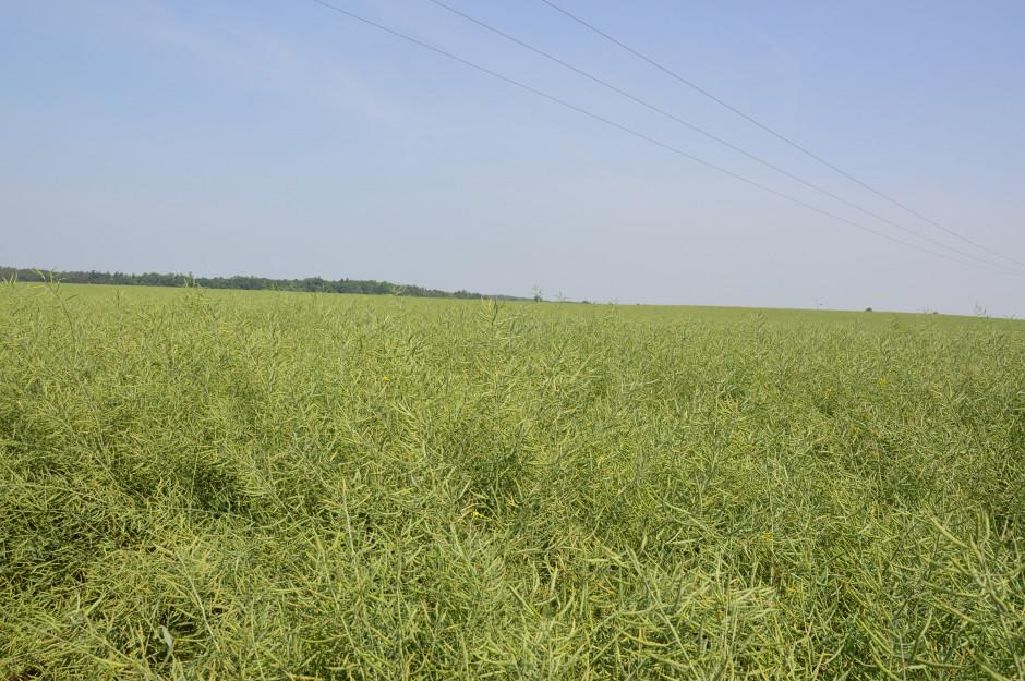 Rzepak zasiany pasowo lepiej radzi sobie z suszą dzięki lepiej rozwiniętym korzeniom.