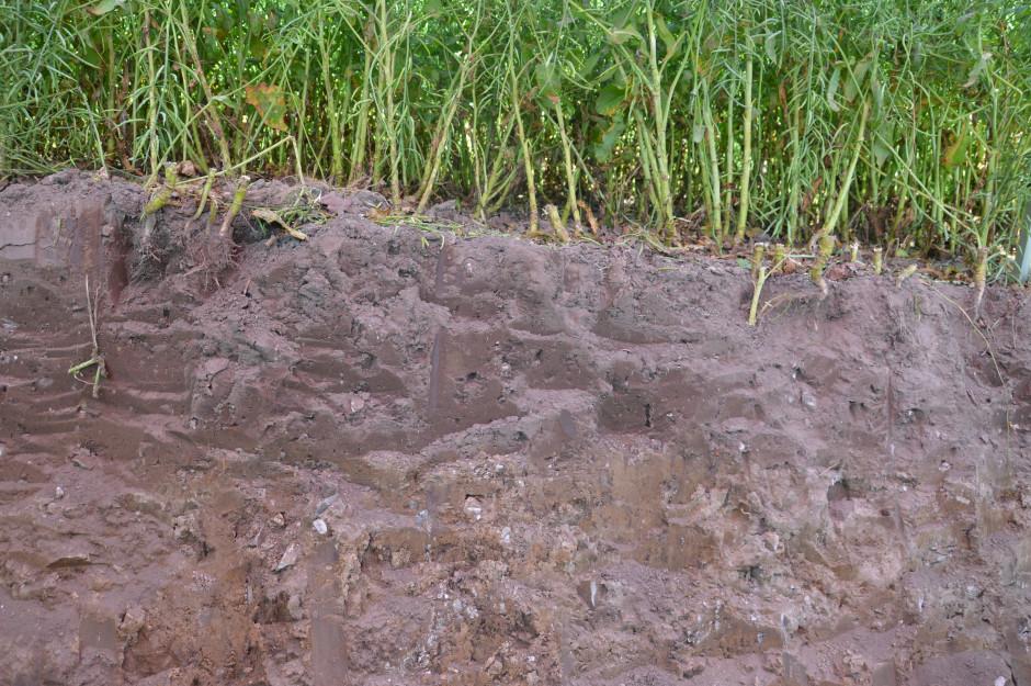 Dzięki długoletniej uprawie bezorkowej w profilu glebowym nie ma granic pomiędzy poszczególnymi warstwami gleby.