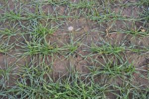 Stan zbóż ozimych jesienią na zachodzie kraju